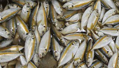تفسير حلم السمك الصغير الحي والميت للعزباء والمتزوجة والحامل